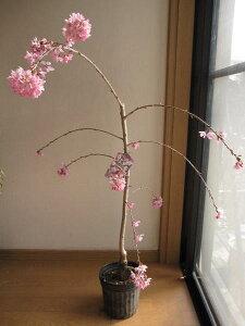 2020年4月頃開花予定植樹にしだれ桜苗【桜】枝垂れ桜苗 高さ 約1m  一重紅しだれ桜苗 紅しだれ桜 苗木