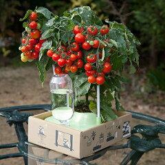 私の畑+ドワーフトマト「プリティーベル®」の苗セット ドワーフトマト プリティーベル …