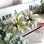 エアプランツ フェイクグリーン インテリア インダストリアルチランジア ティランジア ティランドシア キセログラフィカ