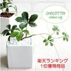 ミニシサスアイビープラント シュガーバイン 観葉植物