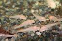 国産アルビノブッシープレコ 約3〜4cm