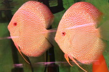 【送料梱包料無料アルビノレオパードスネークスキンPR約13-15cm(熱帯魚ディスカス生体淡水魚)