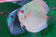 【送料梱包料無料】マジェスティックブルーダイヤPR約13cm(熱帯魚ディスカス生体淡水魚)