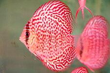 サークルファイヤールビー約11-12cm(熱帯魚ディスカス生体淡水魚)