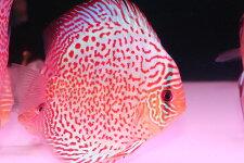 【送料梱包料無料】サークルファイヤールビー約12-13cm(熱帯魚ディスカス生体淡水魚)