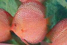 【送料梱包料無料】特選レオパードスネークスポット約13cm(熱帯魚ディスカス生体淡水魚)