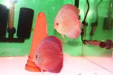 【送料梱包料無料】レオパードスネークスポットPR約12-13cm(熱帯魚ディスカス生体淡水魚)