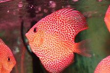 スーパーエラプション約12cm(熱帯魚ディスカス生体淡水魚)