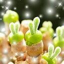 """うさ耳""""モニラリア""""の種 10粒 +育て方の説明書付き 【多肉植物】 多肉 種 うさぎ うさみみ ラビット cute 多肉 観葉植物 Succulents Cactus サボテン モニラリア マニラリア モニ"""