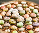 生きる宝石 リトープスの種 (ミックス種)10粒 +育て方の説明書付き 【多肉植物】 生ける宝石 多肉 観葉植物 Succulents Cactus サボテン