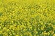 菜種 種子 (1kg)菜の花 なのはな ナタネ なたね アブラナ景観用に!