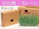 【予約販売】【レーン苗】タマネギ苗「貴錦(極早生)」5レーン /200本保障