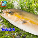 送料無料 鹿児島県産 カンパチ(養殖)片身 かんぱち 間八 お刺身 お寿司 おまけ付き 活〆