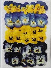 N-16押し花ビオラ4色30枚