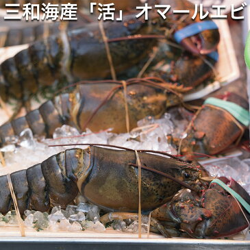 三和海産 オマール海老 1kg 【活きた状態での出荷です】 (オマールえび、オマールエビ)