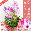 華やか・洋ラン寄植え『花いろいろ【天草】』関東の花品評会「市民が選んだベスト賞」受賞当園だけの…