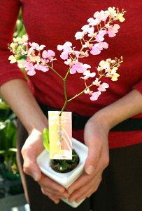 【ラン】花色かわる魔法のラン はるりオンシジューム プレゼント 洋ラン 育て方付き【花色変化】