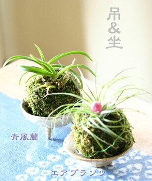 洋ラン『蘭丸 青風蘭とストリクタの2玉セット【苔玉】』 丈夫で冬以外は屋外でも元気に育ちます。ご趣味に