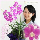 【洋蘭】『デンファレほのか3本仕立て』花もちがよくってボリュームも!おススメです!