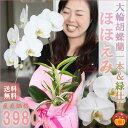 大輪胡蝶蘭 1本 観葉植物寄せ送料無料・あす楽 在庫あり!お誕生日祝い花のバースデーフラワー...