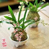 【ラン苔玉 蘭丸】『蘭丸 香る洋蘭 トゥインクル 【苔玉】』 和のテイストで楽しむオシャレなコケダマ