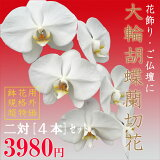 【切花】『胡蝶蘭 大輪 切り花 4本 (1対2本 2セット) 規格外花』ご自宅の飾り用 胡蝶蘭 訳あり