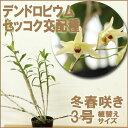 洋ラン『デンドロビウム セッコク交配種【花咲く苗セット】』丈夫なセッコク系交配種育て方の説明書付き 洋蘭苗栽培キット