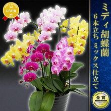 花姿が美しいミディ胡蝶蘭☆
