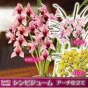 【今期販売開始】選べる花色『シンビジューム アーチ仕立て 贈答用』送料無料赤芽ピンク・ピンク・イエローの3色 シンビジウム 陶器鉢花 お祝い 誕生日