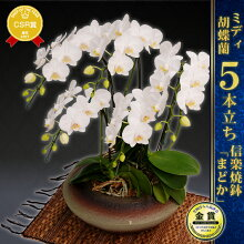 こちょうらん胡蝶蘭ミディコチョウラン5本仕立て陶器鉢入り贈答用