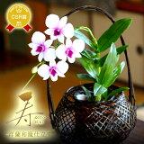 【敬老の日2017花ギフト】『敬老の日ギフト・和風ラン「寿」』洋ラン送料無料鉢花