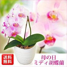 上品なオレンジ胡蝶蘭に和鉢が上品な雰囲気をかもし出します。