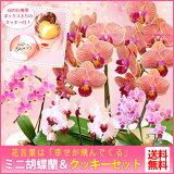 ピンク色が可愛らしい!たくさんのランが咲き誇る名品種!