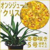 ※黄色い小花が高さ約90cほどで無数に舞うような豪華なオンシ系交配種『今ならつぼみ〜花付き--!オンシジューム 'クリス' 【育てる栽培セット】』洋ラン花咲く苗セット