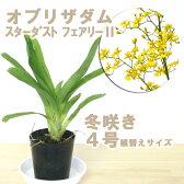 満天星とも呼ばれる黄色花は気分まで明るくしてくれます『今なら花付き--!オブリザダム スターダストフェアリー 【育てる栽培セット】』洋ラン花咲く苗セット