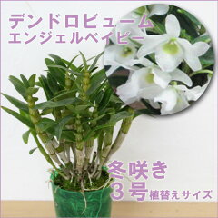 ランは絶対咲かない!そんな方に育てて頂きたい!日本で育種された素晴らしい白緑色のミニデン...