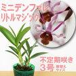 『今なら花付き--ミニデンファレ リトルマジック 【育てる栽培セット】』花びらとツイストが無数に咲き乱れる世界的品種洋ラン花咲く苗セット育て方の説明書付き