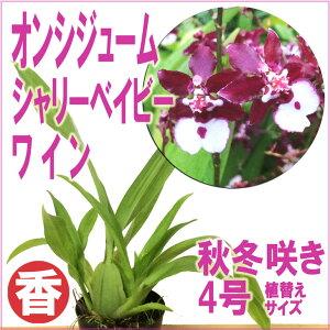 ほんわか香りの洋ランとして大人気のオンシジューム「シャリーベイビー」の病気に強い日本生ま...