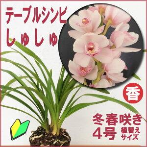 洋ラン初心者も安心の育てやすい&咲かせやすいシンビジュームの新品種です☆気軽に飾れるテー...