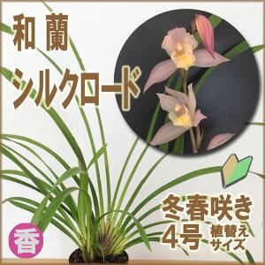 洋ラン初心者も安心の育てやすい&咲かせやすいシンビジュームの新ジャンル「和蘭」☆地植えも...