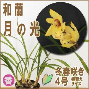 和蘭シンビジュームの交配により日本で生まれた春蘭系交配種洋ラン初心者も安心の育てやすい&...