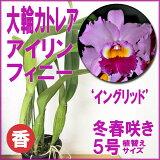 洋ラン『大輪カトレア アイリン フィニー 'イングリッド'【花咲く苗セット】』この名花なしに大輪カトレアは語れません!育て方の説明書付き 洋蘭苗栽培キット