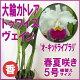 セミアルバ大輪カトレアの美花です♪完成度の高い花形と眩しい花色...