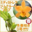 洋ラン『今ならつぼみ、または花付きも--ミディカトレア ジムクルール 'フナブ'【花咲く苗セット】』気品溢れる花姿育て方の説明書付き 洋蘭苗栽培キット