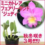 洋ラン『今ならつぼみ、または花付きも--ミニカトレア フェアリーランド 'ジュディ'【花咲く苗セット】』育て方の説明書付き 洋蘭苗栽培キット