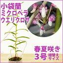 洋ラン『今ならつぼみ付きも--小袋蘭 ミクロペラ ウエリクロサ【花咲く苗セット】』 必見!お花の形がとにかくユニーク♪愛好家さん向け希少種育て方の説明書付き 洋蘭苗栽培キット
