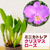 洋ラン『今ならつぼみ〜花付きも!--ミニカトレア クリスマスローズ【花咲く苗セット】』うっとりするほどの美人花ピンクの優しいグラーデションが美しすぎます育て方の説明書付き 洋蘭苗栽培キット