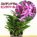 洋ラン『今ならつぼみ、または花付きも--エピデンドラム ピンクパール【花咲く苗セット】』育て方の説明書付き 洋蘭苗栽培キット