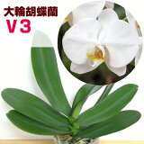 洋ランの苗『今ならつぼみ、または花付き--大輪白胡蝶蘭 V3【花咲く苗セット】』世界で最も選ばれている最高峰ファレノプシスの白品種をご自宅で!洋蘭栽培の趣味をプレゼントに!胡蝶蘭の育て方