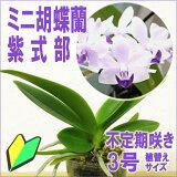 洋ラン『今なら花付きも-- 青い胡蝶蘭 紫式部 【花咲く苗セット】』育て方の説明書付き 洋蘭苗栽培キット